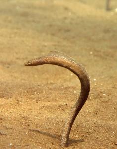 Sand Eel Indonesia
