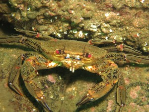 Velvet Swimming Crab2_small